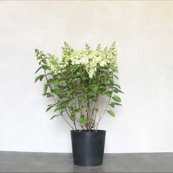 Syren Hortensia fra Greenify