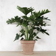 Philodendron selloum 'Hope' fra Greenify