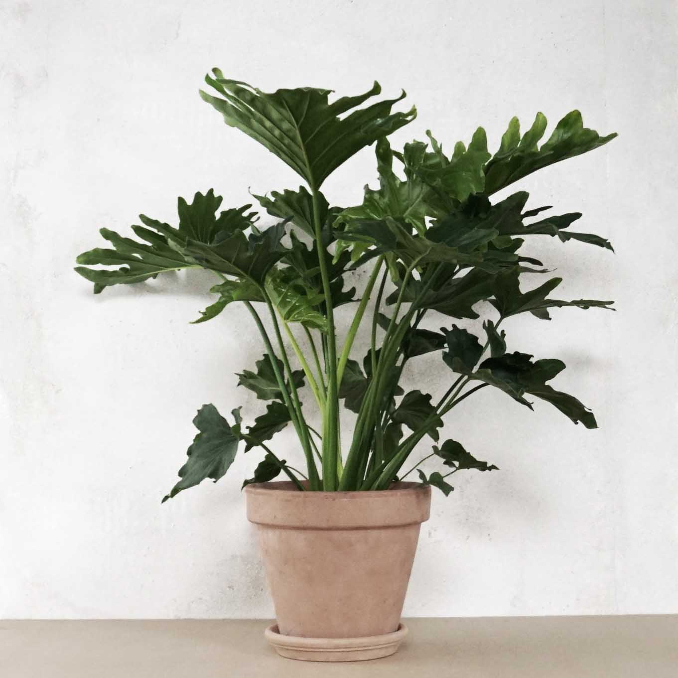 Philodendron selloum 'Hope' fra Greenify