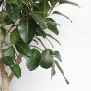Ficus-Audrey-Detalje