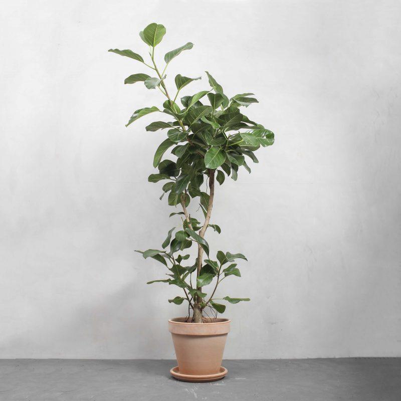Opstammet Ficus Audrey fra Greenify