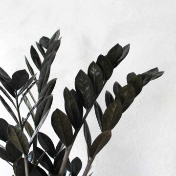 Zamioculcas 'Raven' fra Greenify
