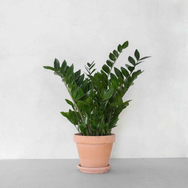 Zamioculcas Zamiifolia fra Greenify