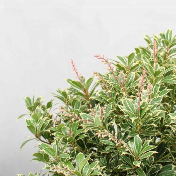 Pieris japonica 'Carneval' fra Greenify