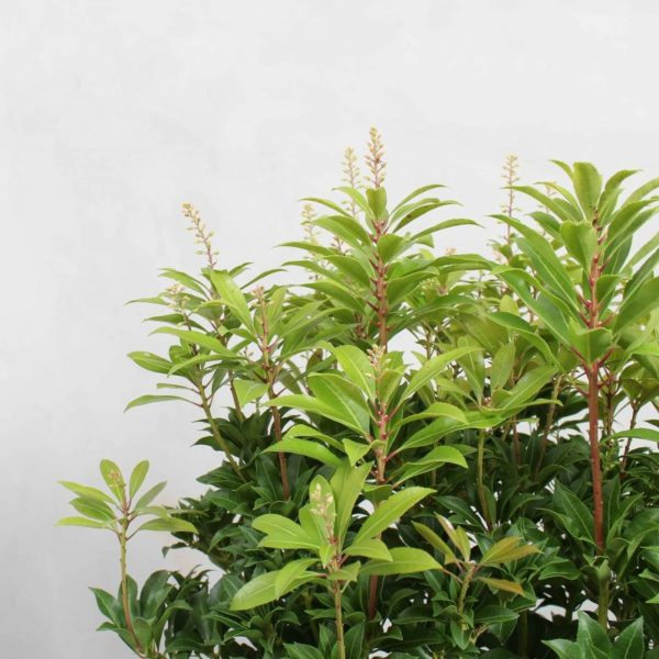 Pieris japonica 'Mountain Fire' fra Greenify