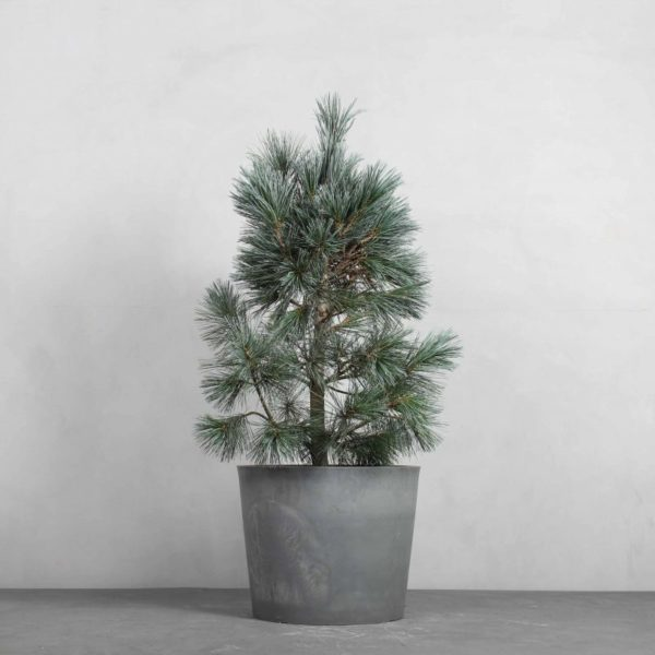 Pinus schwerinii 'Wiethorst' fra Greenify - Se udvalget af stedsegrønne nåletræer