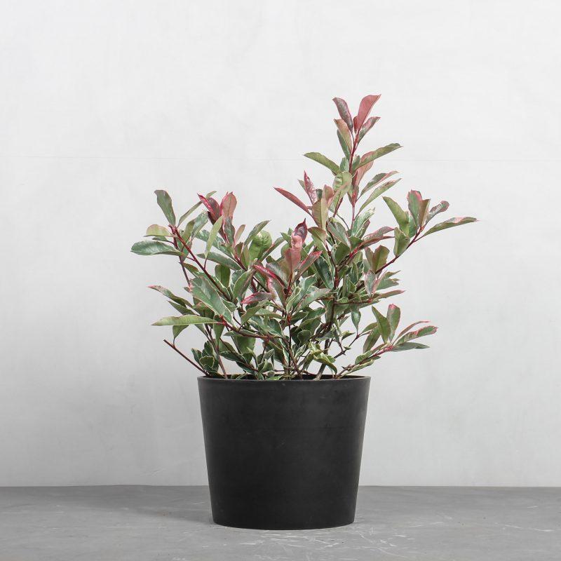 Glansmispel 'Pink Marble' fra Greenify