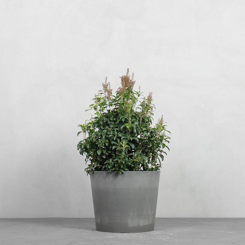 Pieris japonica 'Bonfire' fra Greenify