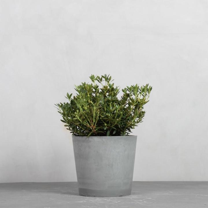 Rhododendron micranthum fra Greenify