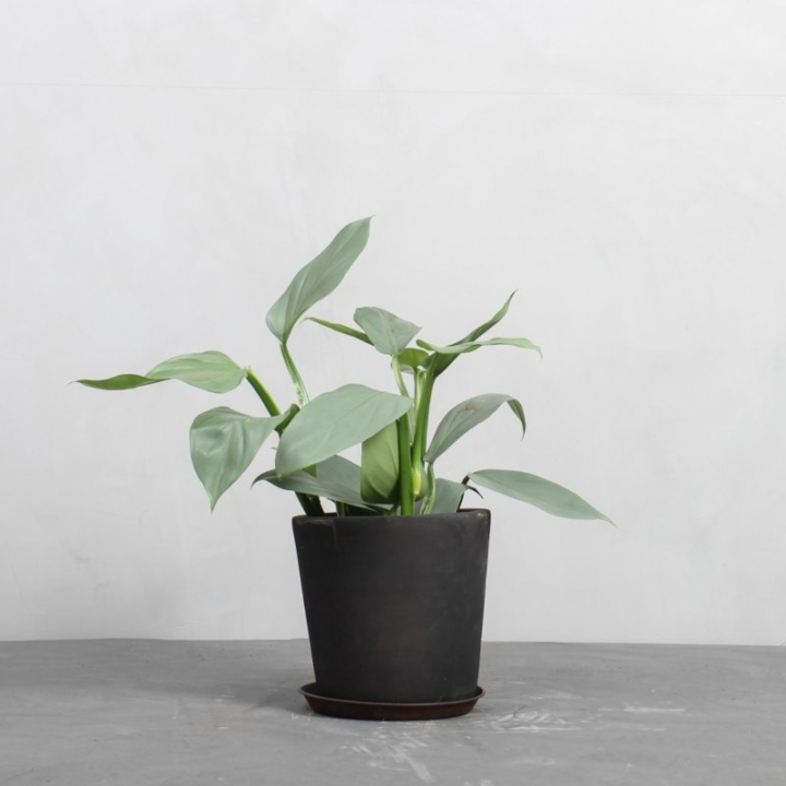 Philodendron 'Silver Sword' fra Greenify
