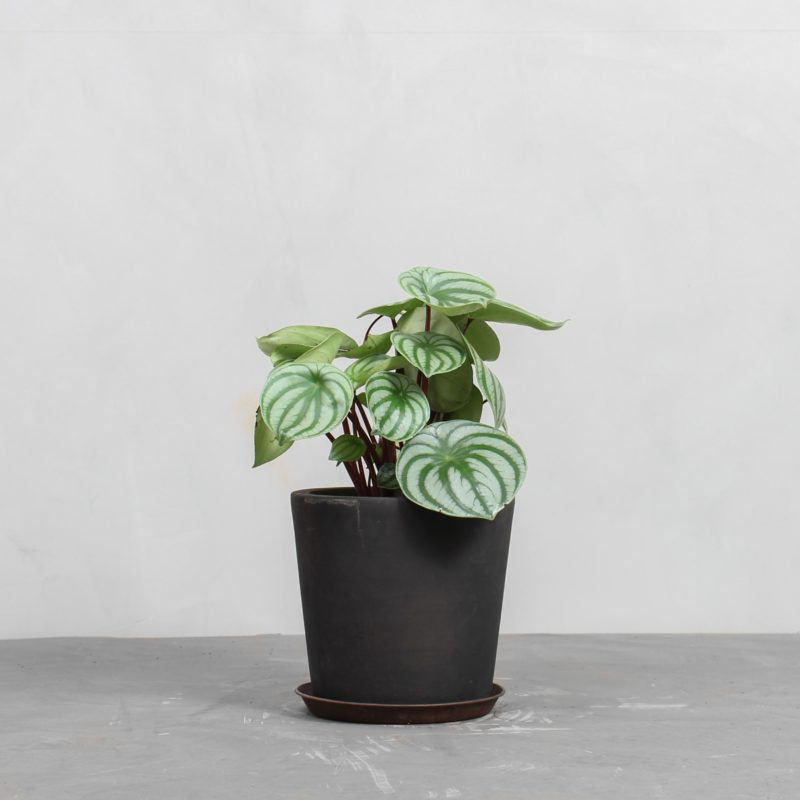 Peperomia Watermelon fra Greenify