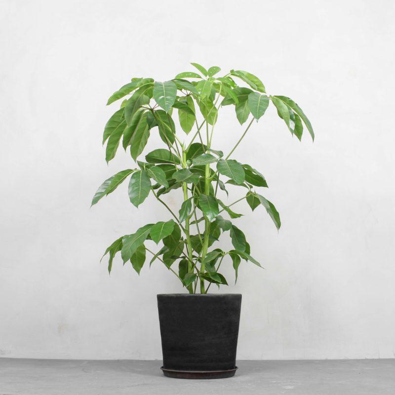 Schefflera Amate fra Greenify