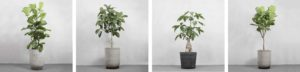 Store traer med stamme fra Greenify