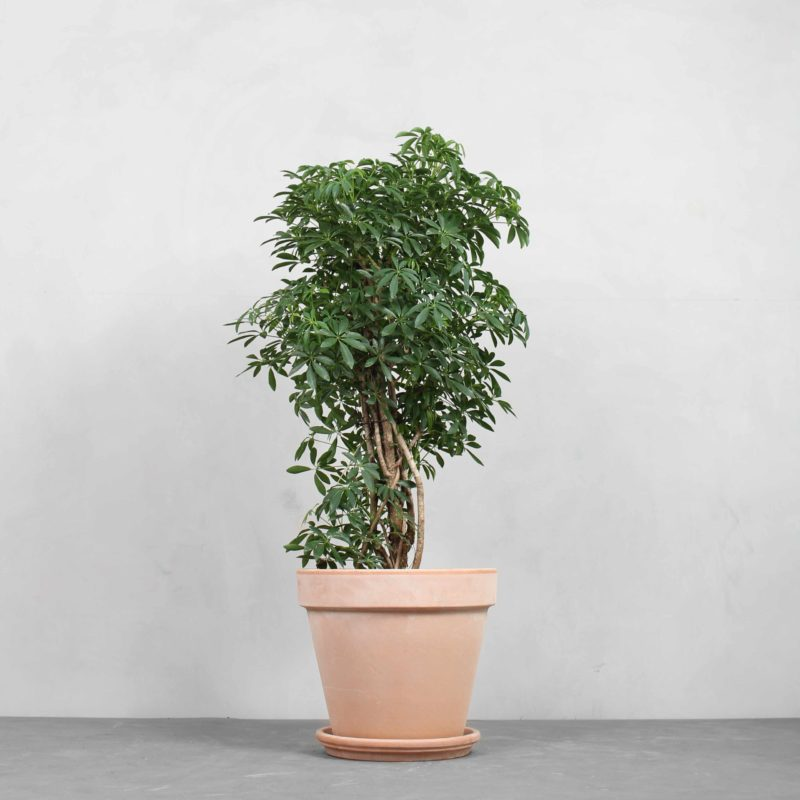 Opstammet Schefflera fra Greenify