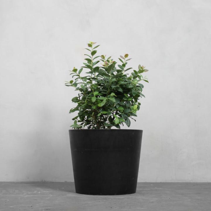 Blåbærbusk fra Greenify