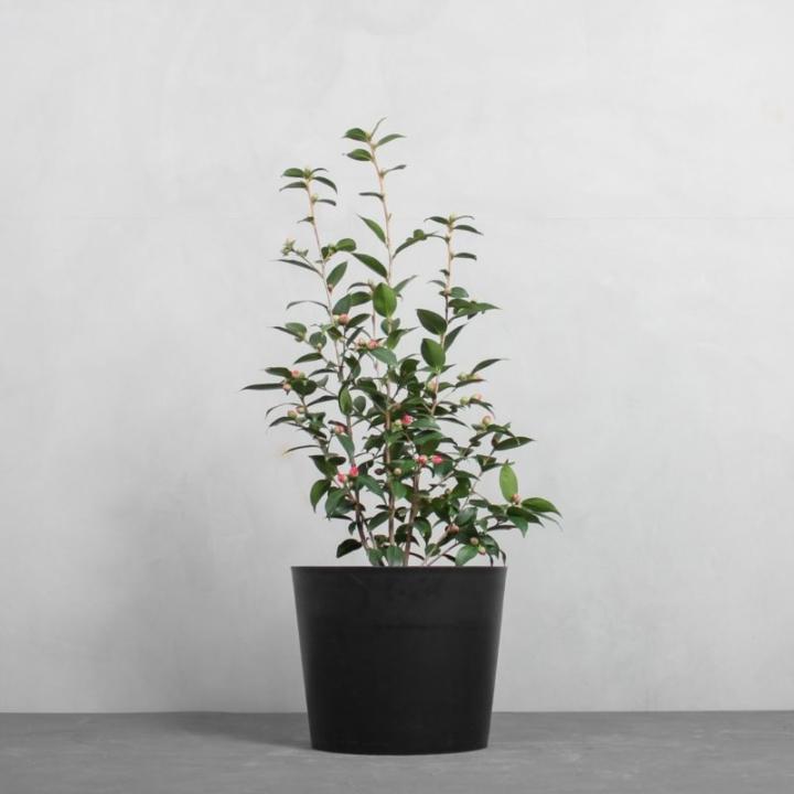 Kamelia fra Greenify