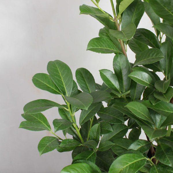 Laurbærkirsebær fra Greenify