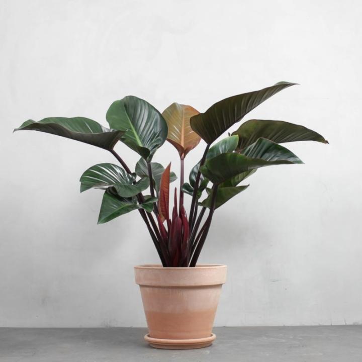 Rød Philodendron fra Greenify