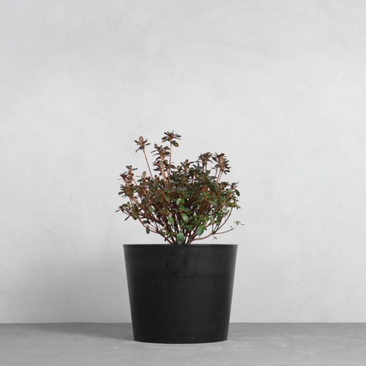 Rhododendron 'Canzonetta' fra Greenify