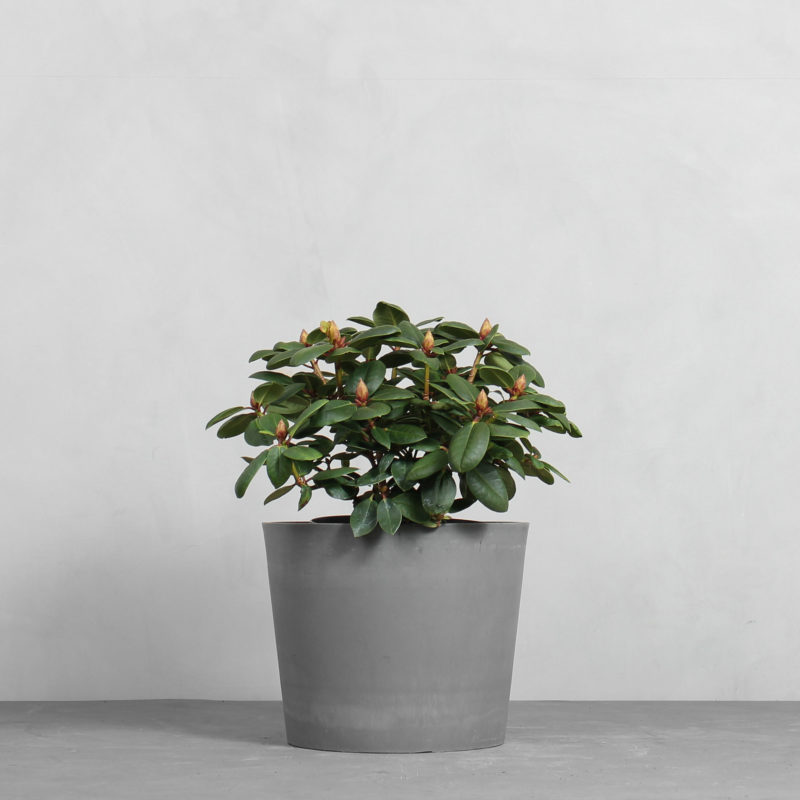 Rhododendron 'Rieger' fra Greenify
