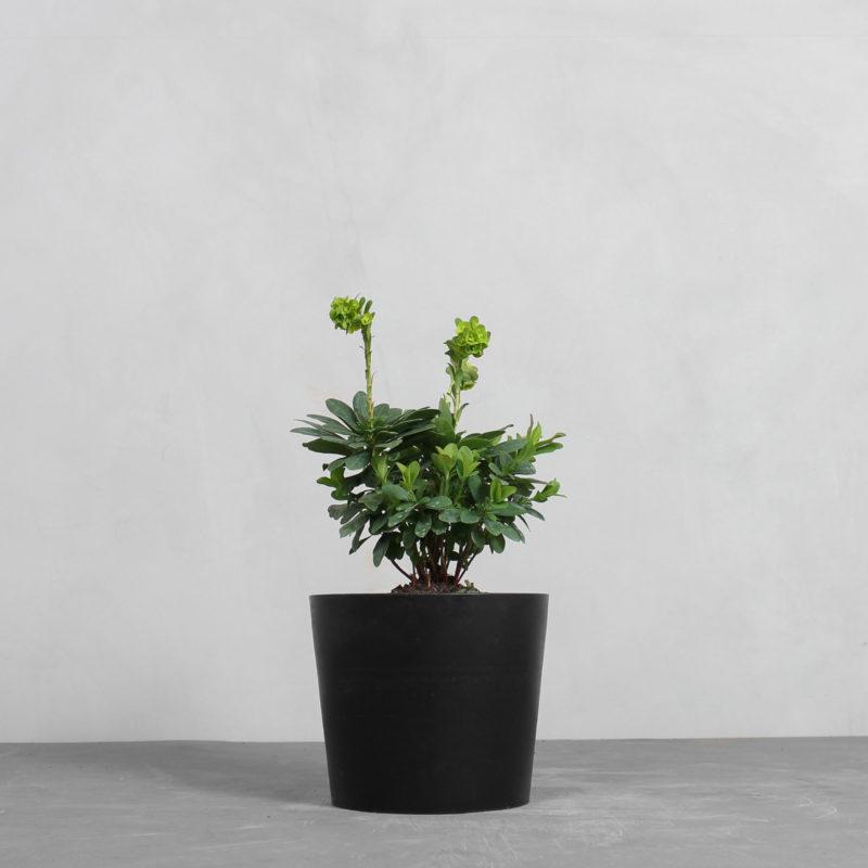 Vortemælk 'Robbiae' fra Greenify