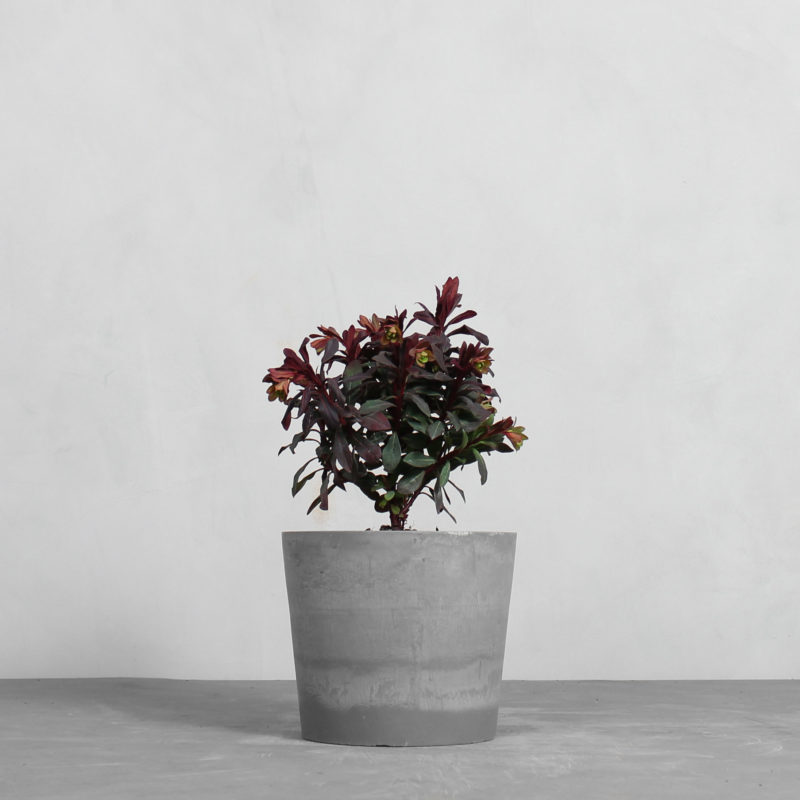 Vortemælk 'Ruby Glow' fra Greenify