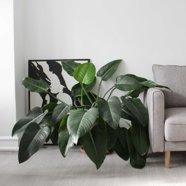 Philodendron Congo fra Greenify