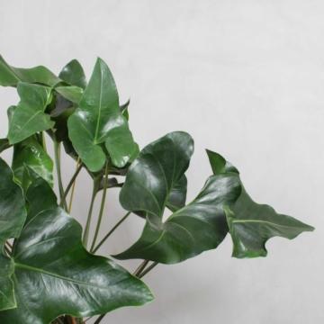 Anthurium arrow fra Greenify