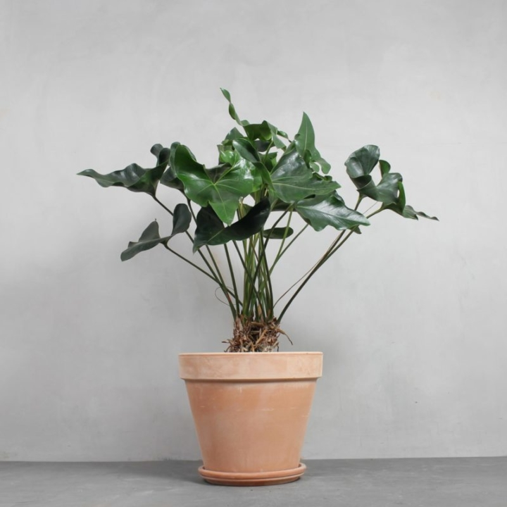 Anthurium arrow fra Greenify