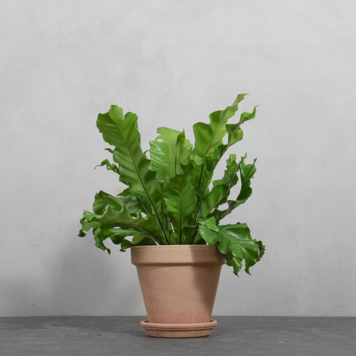 Asplenium Nidus fra Greenify