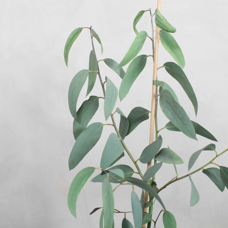 Eucalyptus Pauciflora fra Greenify