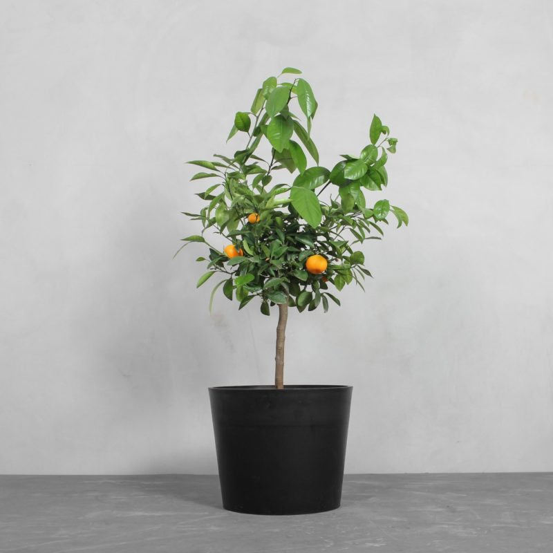 Kumquat Citrus fra Greenify