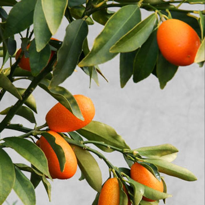 Kumquat fra Greenify