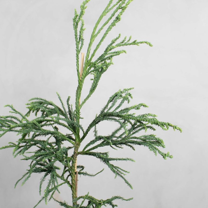 Cryptomeria Japonica fra Greenify