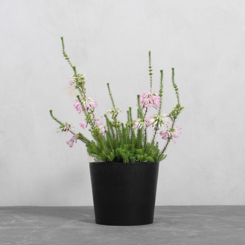 Erica Verticillata fra Greenify