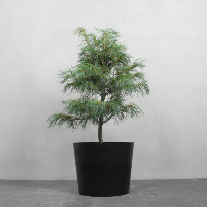 Pinus Strobus fra Greenify