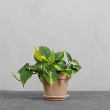 Philodendron 'Brazil' fra Greenify