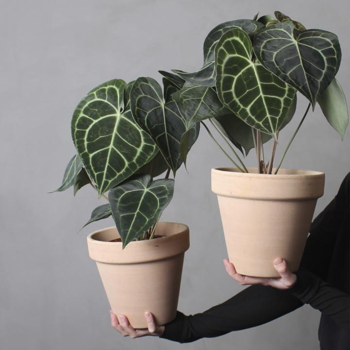 Anthurium Clarinervium fra Greenify