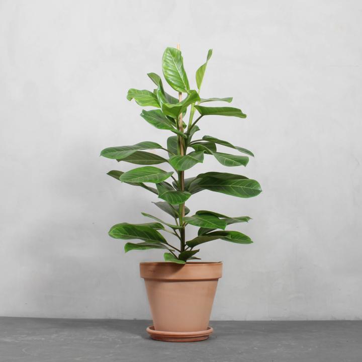 Ficus Altissima fra Greenify