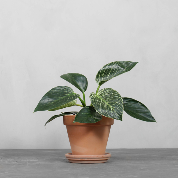 Philodendron Birkin fra Greenify