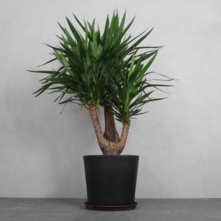 Yuccapalme fra Greenify