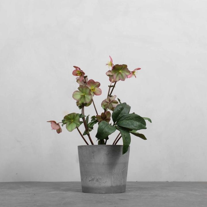 Helleborus fra Greenify