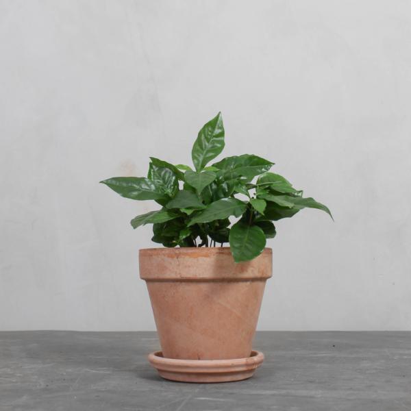 Kaffetræ fra Greenify