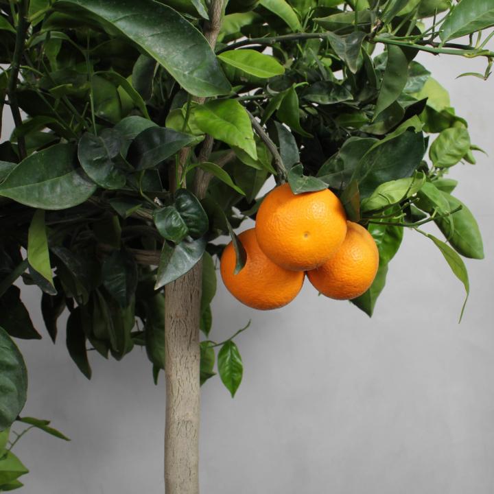 Appelsintræ fra Greenify