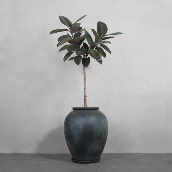 Opstammet Mørkbladet Gummitræ fra Greenify