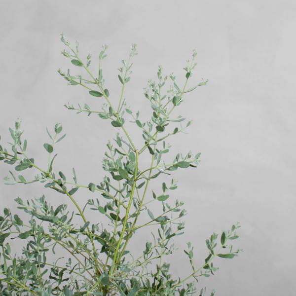 Eucalyptus fra Greenify