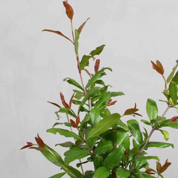 Granatæble fra Greenify