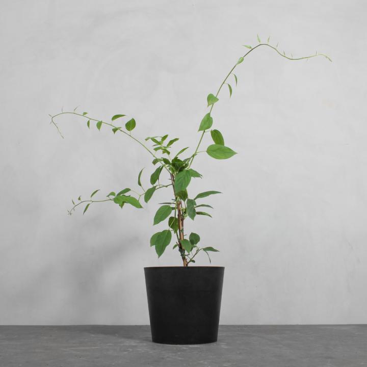 Kiwiberry fra Greenify
