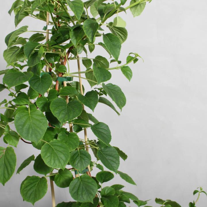 Klatrehortensia fra Greenify
