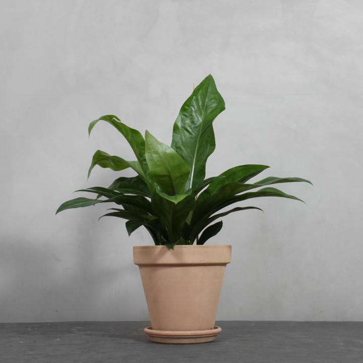Anthurium Jungle King fra Greenify